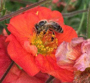 Biene auf Mohn